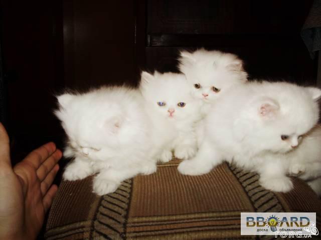коты фото кошки персидские котята и