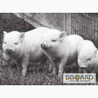 Свинина живым весом. Товар от производителя.