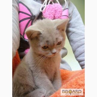 Плюшевый британский котенок!)