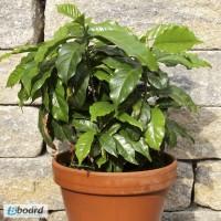 Продам семена Кофейное дерево Арабика