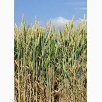 Куплю пшеницу по всей Украине