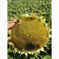 Насіння соняшника гібрид Осман / за літньою ціною