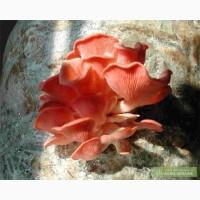 Вешенка розовая. Мицелий грибов