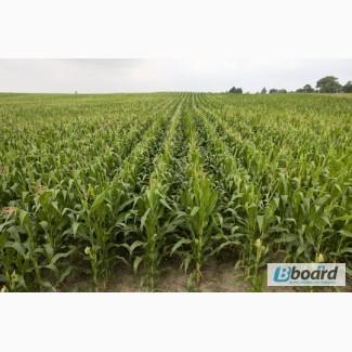 Семена кукурузы от Института орошаемого земледелия НААН (Любава, Оржица, Солонянский )