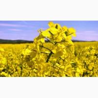 Куплю рапс с ГМО и без оптом, дорого