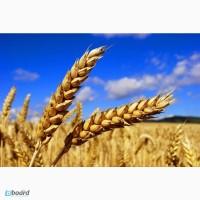 Постоянно закупаем пшеницу 2, 3 класс большими объемами