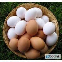 Поставки куриного яйца