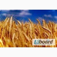 Куплю пшеницу, ячмень, кукурузу, овес, рожь, просо, горох, сою по Луганской области