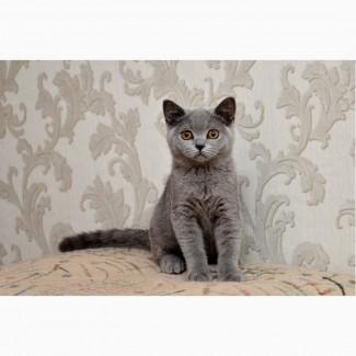 Настоящий британский котенок