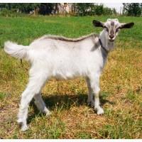 Продам двух козляТ