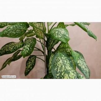 Диффенбахия комнатное растение