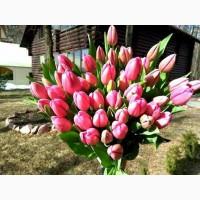 Тюльпан к 8 марта из Голландии