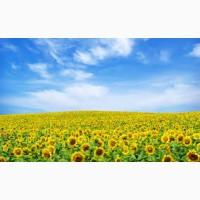 Бонд насіння соняшнику під гранстар