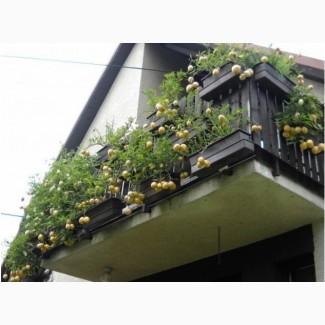 П Е П И Н О Ягода, овощ, фрукт в одном экзотическом плоде в огороде и на подоконнике
