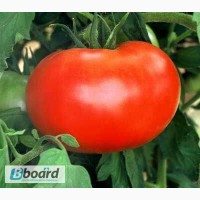 Продам семена Томат Волгоградский 595