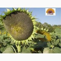 Насіння соняшнику Богдан толерантний до євро-лайтнінгу
