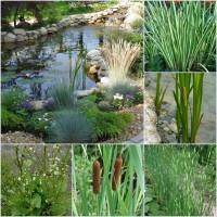 Прибережні та водні рослини для декоративних водойм, створення біоплато
