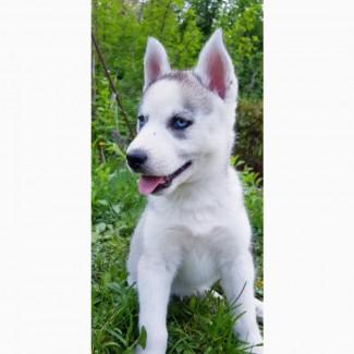 СИБИРСКИЕ ХАСКИ || Купить Девочку щенка Хаски в Харькове