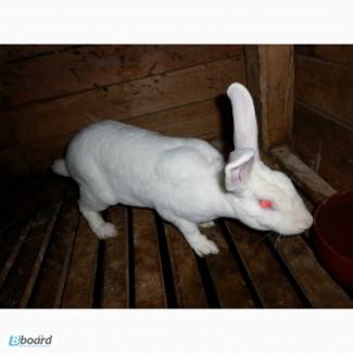 Продам кроликов РЕКС