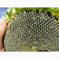 Дозор – насіння гібриду соняшника