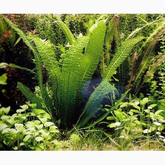 Аквариумные растения Апоногетон Боивина