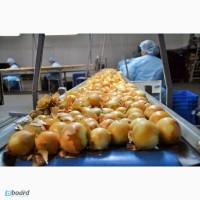 Рабочие на завод. Очистка лука и брюссельской капусты