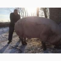 Продам свиней мясной породи, Киевская обл