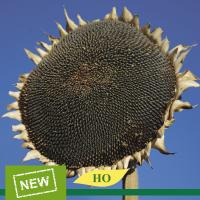 Семена подсолнечника Эверест