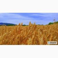 Куплю пшеницу. Пшеница 2, 3, 4, 5 класс