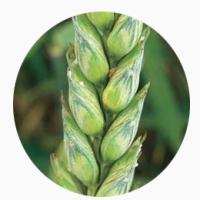 Продам семена озимой пшеницы