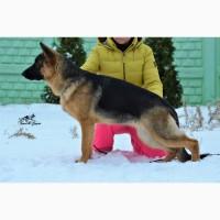Подрощенные щенки немецкой овчарки в питомнике «TSARIGRANT»