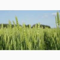 Семена твердой пшеницы БУРШТИН