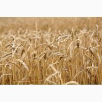 Куплю зернові. Жито. Пшениця. Кукурудза. Ячмінь. Овес. Жовтий горох