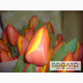 Продам тюльпаны (1300шт.) и гиоцинты (190 шт.) к 8 марта оптом