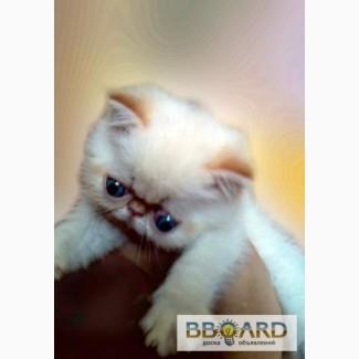 Продам котенка экзот мальчик 2 месяца