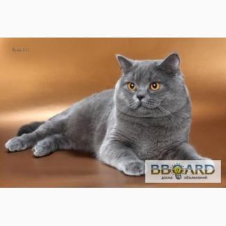 Чистокровный британский кот, Eur.Ch. приглашает на вязку