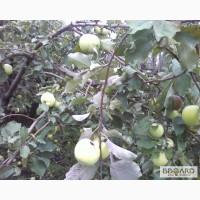Организация скупает яблоко на переработку по удобным вам условиям.ДОРОГО!По всей Украине!