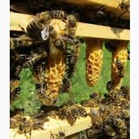 Пчеломатки карника, неплодные и плодные, пчелопакеты