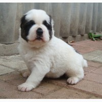 Питомник предлагает щенков САО - любителям алабаев
