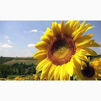 Соняшники, гібриди української селекції