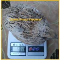 Феникс яйца инкубационные перепела - (France)
