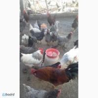 Продам інкубаційні яйці, курей породи Домінант С 3
