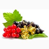 Смородина Черная, Красная, Желтая, питомник выращивает плодово-ягодные кустарники есть опт
