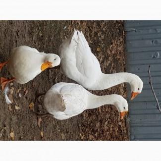 Продам гуси и утки