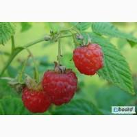 Саженцы малины купить у нас качество и цена сорт Полана урожайность 5кг с куста