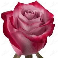 Розы кустовые. Более 100 различных сортов