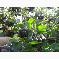 Саженцы черноплодной рябины (аронии)