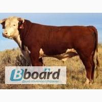 КРС ДОРОГО -- Закупаем бык, корова, телка, лошадь