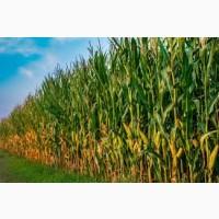 РАМ 1333 ФАО 180 семена кукурузы