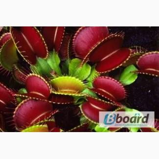 Хищные растения, мухоловка, росянка, саррацения, непентес